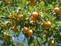 Отдается в дар Дарю молодые деревья из сада
