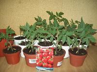 Отдается в дар Рассада томатов черри комнатных