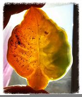 Отдается в дар Осенний лист. Антибактериальное мыло ручной работы.