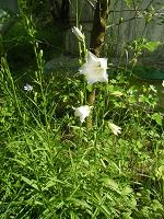 Отдается в дар Цветы — Колокольчики