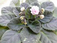 Отдается в дар цветы в горшках