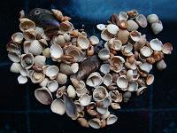 Отдается в дар Морские ракушки