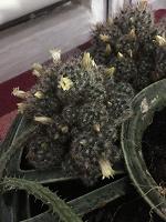 Отдается в дар Кучка кактусов