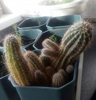 Отдается в дар отростки кактуса