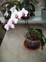 Отдается в дар орхидея фаленопсис