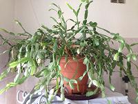 Отдается в дар Растение в горшке