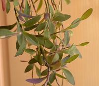Отдается в дар Пушистый вариант традесканции: сеткреазия пурпурная