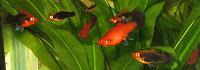 Отдается в дар Рыбы аквариумные