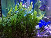 Отдается в дар Растение аквариумное Криптокорина лютея