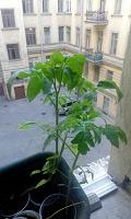 Отдается в дар Рассада помидор