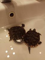 Отдается в дар Красноухие черепахи
