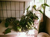 Отдается в дар Растение прошу приютить!