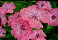 Отдается в дар Семена цветов. Лаватера