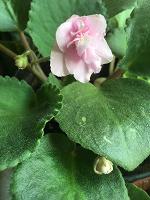 Отдается в дар Фиалка розовая, отростки