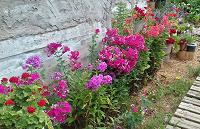 Отдается в дар цветы для сада