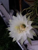 Отдается в дар Отростки кактуса Эхинопсис