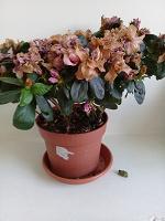 Отдается в дар Цветок Азалия.