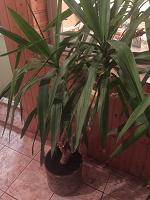 Отдается в дар Большие домашние растения