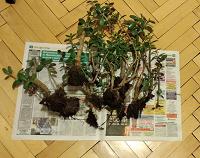 Отдается в дар Отростки Денежного дерева
