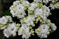 Отдается в дар Каланхоэ каландива белый (черенки)