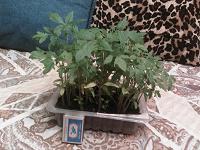 Отдается в дар Рассада томатов