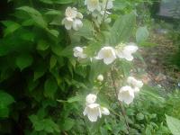 Отдается в дар растение для дачи-жасмин(чубущник)