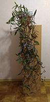 Отдается в дар Сеткреазия большая — комнатное растение