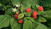 Отдается в дар Сушеные листья малины
