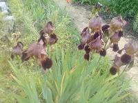 Отдается в дар растение для дачи-ирис