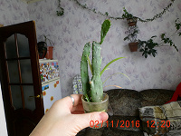 Отдается в дар кактус-опунция