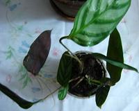 Отдается в дар Ктенанта комнатное растение отросток
