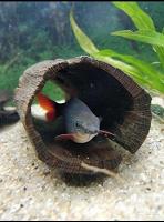 Отдается в дар Аквариумная рыбка Лабео