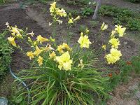 Отдается в дар Лилейник желтый махровый