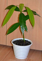 Отдается в дар Семена манго
