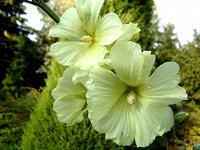 Отдается в дар Семена мальвы бледно-лимонной