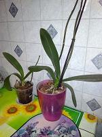 Отдается в дар Две орхидеи и кашпо