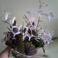 Отдается в дар Плектрантус Комнатный цветок