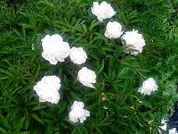 Отдается в дар растение для дачи — пион белый