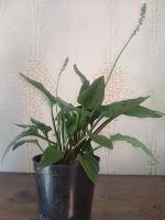 Отдается в дар Цветок декоративно-лиственный