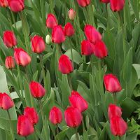 Отдается в дар Луковицы красного тюльпана