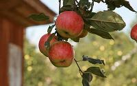 Отдается в дар Дачные яблоки