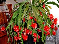 Отдается в дар Молодой эпифилум (лесной кактус)