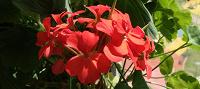 Отдается в дар отростки цветка алой Пеларгонии