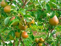 Отдается в дар Корзина груш со своего дерева вместе с корзиной