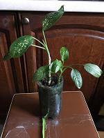 Отдается в дар Дифенбахия 2 растения цветы