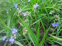 Отдается в дар Растения для дачи-цветы многолетние