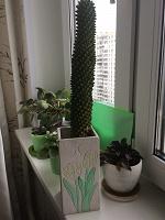 Отдается в дар Неколючий кактус