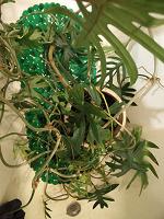 Отдается в дар филодендрон изящный, домашнее растение