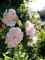 Отдается в дар Лепестки чайных роз ;)