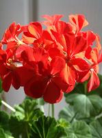 Отдается в дар пеларгония (герань) ярко красная (алая)